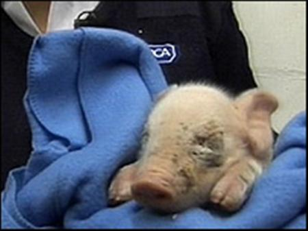 An injured piglet found among a delivery at Tesco in Ilkeston, Derbyshire and nicknamed ''Andrex'' is shown in this handout photo, November 20, 2007. Reuters/Tesco/RSPCA