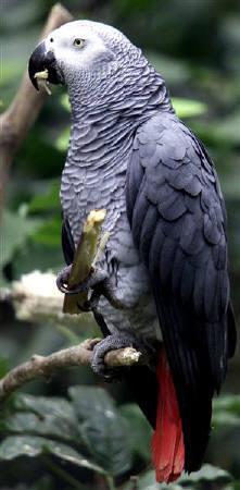 11月27日、カメルーンの当局が中東のバーレーンに向けてインコの一種であるヨウム500羽を密輸しようとしたガーナ人2人を逮捕。写真は、2005年1月にウガンダで撮影したヨウム(2007年 ロイター/Patrick Olum)