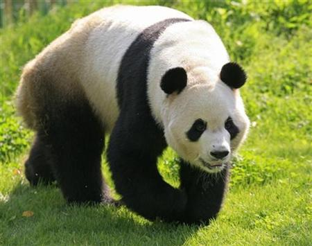China finds panda fossils on tropical island | Reuters
