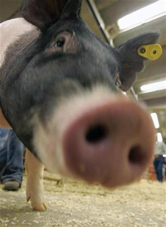 A crossbred gilt pig moves through the pens at the National Western Stock Show in Denver, Colorado January 16, 2007. People for the Ethical Treatment of Animals said it had documented cruelty to pigs at a supplier for meat company Smithfield Foods Inc. REUTERS/Rick Wilking