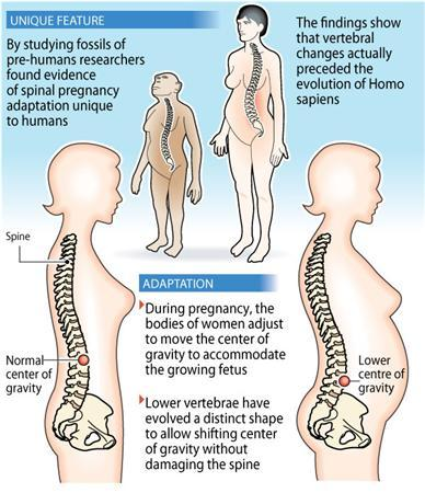 Pregnant women may stand out a mile away with their characteristic backward-leaning stance, but that clumsy-looking position is a unique adaptation that evolved over millennia, anthropologists said on Wednesday. REUTERS/Graphics