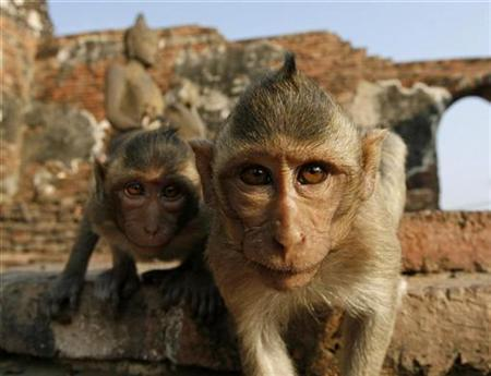 Monkeys look at the camera in front of the Pra Prang Sam Yot temple in Lopburi province, 94 miles north of Bangkok, Thailand, November 25, 2007. Monkeys performed about as well as college students at mental addition, U.S. researchers said on Monday in a finding that suggests nonverbal math skills are not unique to humans. REUTERS/Sukree Sukplang