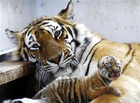A Siberian tiger and one of her cubs rest at their enclosure at the Siberian Tiger Forest Park in Harbin, northeast China's Heilongjiang province April 23, 2007. A rare Siberian tiger was skinned and beheaded in a Chinese provincial zoo and police are offering a reward for information leading to the killer or killers. REUTERS/China Daily