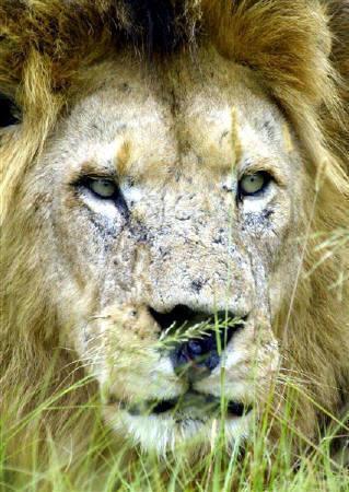 1月3日、南アフリカ北西部にあるライオンの飼育施設で、飼育係の男性(36)がライオンに襲われて食べられる事件が起きた。写真は2004年1月、南アフリカで撮影したライオン(2008年 ロイター/Mike Hutchings)