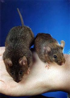 A normal mouse and a genetically-engineered mouse (L) are displayed at Johns Hopkins Univesrity in an undated file photo. The United States, concerned about tainted imports from China, has exported its own batch of potentially harmful goods to Beijing in the form of mice on a flight from Washington, state media said Tuesday. REUTERS/Handout