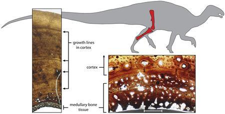 University of California Berkeley illustration shows cross-sections through the fossilized tibia, or shinbone, of a 120 million-year-old female plant-eating dinosaur called Tenontosaurus, showing growth rings and medullary bone laid down in the marrow cavity just prior to egg laying. REUTERS/Sarah Werning/UC Berkeley and Andrew Lee/Ohio University; fossils courtesy of the Oklahoma Museum of Natural History/Handout