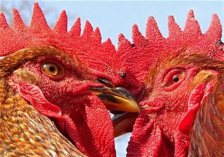 Roosters are seen at a roadside shop in the northern Indian city of Allahabad January 16, 2008. The H5N1 bird flu virus may sometimes stick to surfaces or get kicked up in fertilizer dust to infect people, according to a World Health Organization report published on Wednesday. REUTERS/Jitendra Prakash