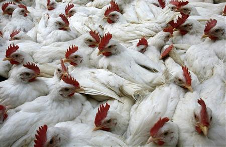 Roosters are displayed at a wholesale market in the eastern Indian city of Kolkata, January 17, 2008. Bird flu spread to two new districts in an eastern Indian state, officials confirmed on Saturday, as veterinary staff struggled to cull thousands of birds in the face of resistance from farmers. REUTERS/Jayanta Shaw
