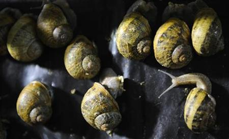 Petit Gris snails are fed at the snail farm of French breeder Dominique Pierru near Soissons, northeast of Paris, December 19, 2007. An IT worker, after receiving a letter on January 3 that was sent on December 20 as priority mail, calculated that a snail would have made it even faster to his home than the letter. REUTERS/Philippe Wojazer