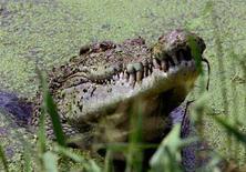 <p>La testa di un coccodrillo emerge da un lago vicino a Darwin, nel nord dell'Australia, in una foto d'archivio. REUTERS/David Gray</p>