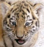 """<p>Une étudiante en médecine, Janine Bauer, a sauvé la vie d'un bébé tigre du zoo de Halle, en Allemagne, effectuant un massage cardiaque et un """"bouche-à-gueule"""" alors qu'il s'était étouffé avec un morceau de viande trop gros pour lui. /Photo d'archives/REUTERS/Arnd Wiegmann</p>"""