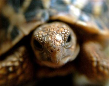 An intercepted star tortoise moves inside his cage in Chennai September 20, 2005. REUTERS/Babu Babu