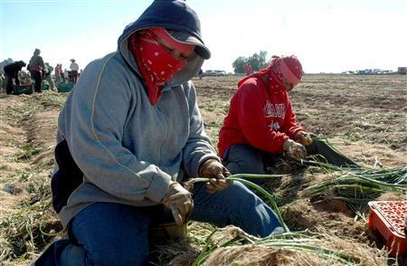 Workers at U.S. farmer Mike Fox's packing plant sort spring onions on his vegetable farm near Mexicali in the fertile Colorado river valley just south of the U.S. border February 7, 2008. REUTERS/Stringer