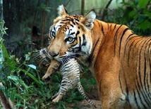 <p>Una tigre con il suo cucciolo a Guwahati, in India. REUTERS/Utpal Baruah (INDIA)</p>