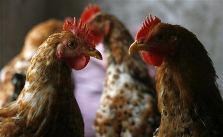 Hens are seen at a farm outside Hanoi February 14, 2008. A 16-year-old Indonesian boy from Central Java has died from bird flu, taking the country's death toll from the virus to 104, the health ministry said on Saturday. REUTERS/Kham