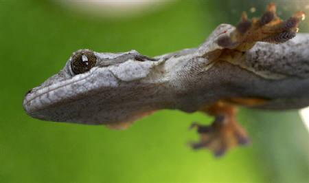 A flying gecko is displayed during a live reptile exhibition in the Bulgarian capital Sofia, May 19, 2007.       REUTERS/Nikolay Doychinov/Files