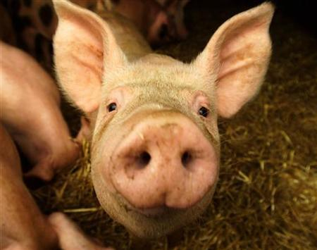 A pig on a Cambridgeshire farm looks up from its pen, August 18, 2000. In what they say is a last-ditch attempt to save the country's pork industry, dozens of pig farmers gathered in London on Thursday aiming for an Internet hit with their song ''Stand by your Ham''. REUTERS/Russell Boyce RUS