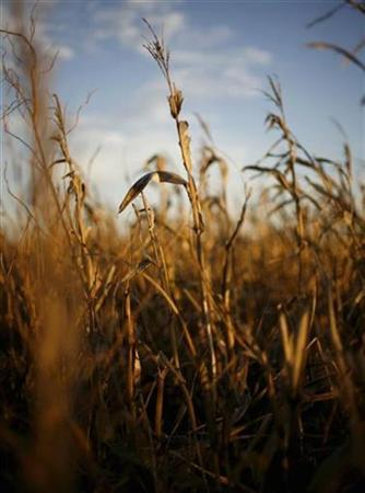 Corn stalks are seen in the harvested fields of Prairie City, Iowa, November 14, 2007. Researchers have sequenced the gene map of corn, also known as maize, a key crop across much of the world and a source of food, oil and products ranging from shoe polish to ethanol. REUTERS/Shannon Stapleton