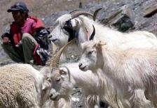 <p>Un indiano vicino ad alcune pecore Pashmina nella regione indiana del Ladakh. REUTERS/Kamal Kishore</p>