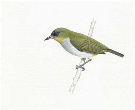 An undated artist's rendering of the Zosterops somadikartai, or Togian white-eye. The small greenish bird that has been playing hide-and-seek with ornithologists on a remote Indonesian island since 1996 was declared a newly discovered species on March 14, 2008 and promptly recommended for endangered lists. REUTERS/Agus Prijono/Handout