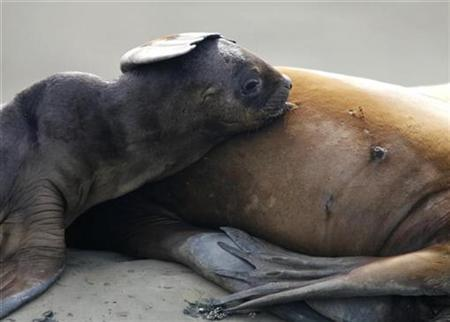A sea lion feeds its pup in Golfo Nuevo, off the beach of the Argentina's Patagonian village of Puerto Piramides, March 18, 2008. REUTERS/Enrique Marcarian