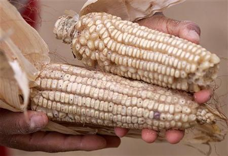 A woman displays genetically modified corn grown in her plot behind her home in the village of Capulalpan in the western Mexican state of Oaxaca December 14, 2001. REUTERS/Daniel Aguilar