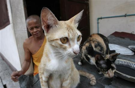 Stray cats rest in a temple in Ayutthaya province, 80 km (50 miles) north of Bangkok, March 26, 2008. Buddhist temples in central Thailand have been flooded with abandoned cats and dogs after an outbreak of feline and canine distemper killed hundreds of pets in the past month, newspapers reported on Wednesday. REUTERS/Sukree Sukplang