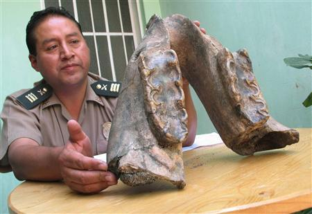 A police officer displays a fossil jawbone they found while investigating a suspicious package on a bus in the mountains of Peru, during a news conference in Arequipa March 25, 2008. The fossil, initially identified by acheologist Pablo de la Vera Cruz of the National University as possibly that of a triceratops, weighs some 19 pounds (8.5 kilos) and was found in the cargo hold of an interprovincial bus. REUTERS/Stringer