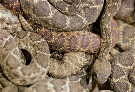 A rattlesnake slithers across a pile of coiled rattlesnakes inside the rattlesnake pit in Sweetwater, Texas March 12, 2006. REUTERS/Jessica Rinaldi