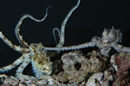 A grey male octopus (R) mates with a female in an undated handout photo. REUTERS/Roy L. Caldwell/UC Berkeley/Handout
