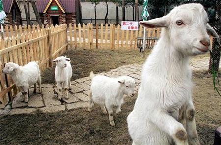 Cloned goats are displayed at the Shanghai Wild Animal Park on the outskirts of China's financial hub January 30, 2003. REUTERS/Claro Cortes IV