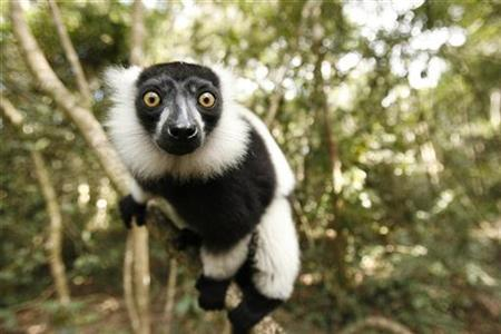 A Black and White Ruffed Lemur clings to a branch at the Monkeyland Primate Sanctuary near Pletteberg Bay on South Africa's scenic Garden Route September 30, 2007. REUTERS/Mike Hutchings