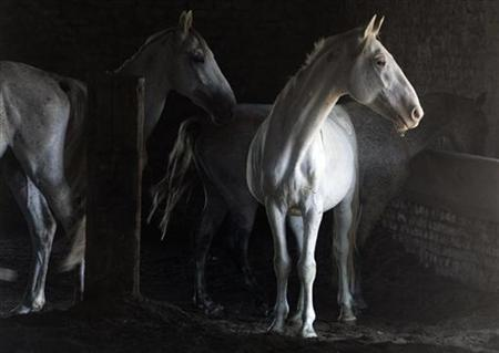 Horses from a herd of white Lipizzaners stand in a stable at a farm near Novi Sad August 2, 2007. REUTERS/Marko Djurica