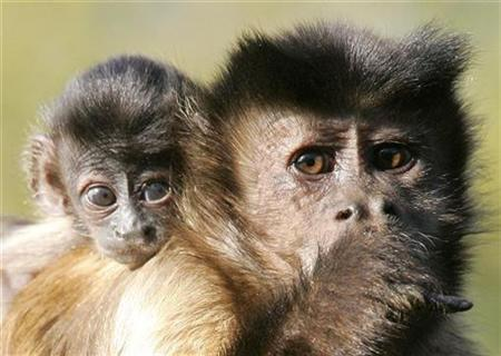 She-Devil, a 3 week-old Capucin monkey, rests on the shoulder of her mother Impie at the Olmense Zoo in Olmen, Belgium October 18, 2007. REUTERS/Yves Herman