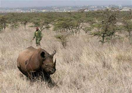 A Kenya Wildlife Service warden approaches a tranquillised female black rhino for translocation at the Nairobi National Park January 14, 2006. Two 19th century rhino horns stolen from a South African museum could be deadly if sold as a popular aphrodisiac because they are drenched in poison, a museum official said on Monday. REUTERS/Thomas Mukoya