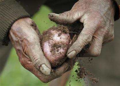 A farmer clears soil off a native potato on his plot in Chincheros in the Andean highlands of Cuzco in this March 25, 2008 file photo. As wheat and rice prices surge, the humble potato -- long derided as a boring tuber prone to making you fat -- is being rediscovered as a nutritious crop that could cheaply feed an increasingly hungry world. REUTERS/Enrique Castro-Mendivil/Files