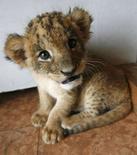 <p>Un cucciolo di leone in uno zoo. REUTERS/Toru Hanai</p>