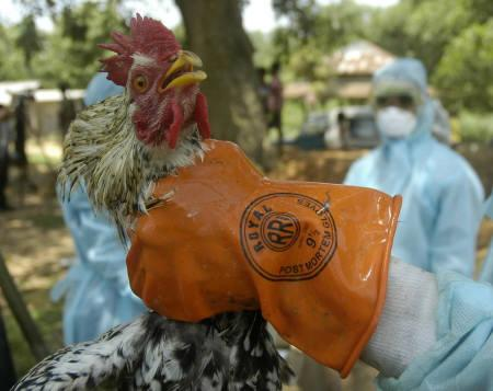 A health worker culls a rooster at a poultry farm in Bijoy village, about 45 km west of Agartala April 24, 2008. Authorities battling an outbreak of bird flu in poultry in Tripura blamed Bangladesh for the spread on Thursday, but many experts said India was not doing enough to contain the virus. REUTERS/Stringer