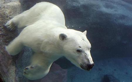 A polar bear swims under water at St-Felicien Wildlife Zoo in St-Felicien, Quebec March 6, 2008. REUTERS/Mathieu Belanger
