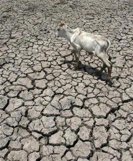 An ox is seen on dried-up rice fields in Baan Ban village in Ayuthaya province, about 59 miles north of Bangkok April 1, 2008. REUTERS/Sukree Sukplang