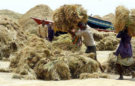 Bangladeshi farmers unload rice stalks after harvesting from their field in Savar, 20 km from the capital Dhaka, April 28, 2007. REUTERS/Rafiqur Rahman/Files