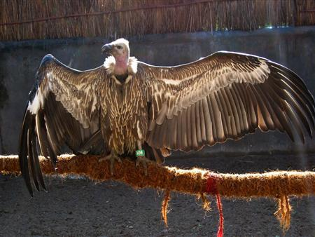 A long-billed vulture is seen at the Vulture Conservation Breeding Centre in Pinjore, India, in this undated handout photograph received in London on April 29, 2008. Wild Asian vultures could become extinct in 10 years unless officials stop the use of a livestock drug that has caused the birds to decline faster than the dodo, British and Indian scientists said on Wednesday. REUTERS/Nick Lindsay/ZSL/Handout