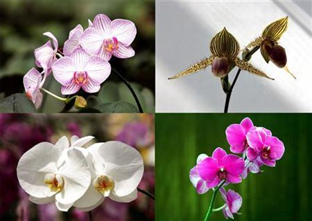 A montage of orchids are on display at the 2005 Taiwan International Orchid Exhibition. Orchids that mimic female wasps may not only waste the time of the male wasps they lure into spreading their pollen -- they also seduce them into wasting valuable sperm, Australian researchers reported on Wednesday. REUTERS/Richard Chung