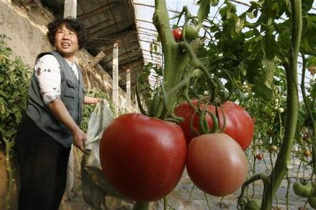A farmer tends organic tomatoes at a greenhouse in Langfang, Hebei province, near Beijing, China, February 6, 2007. REUTERS/Claro Cortes IV