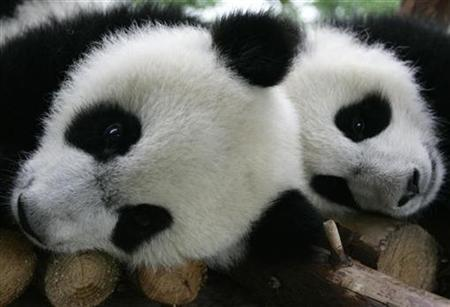 Panda cubs rest at the Chengdu Research Base of Giant Panda Breeding in Chengdu, Sichuan province, April 17, 2008. REUTERS/Alfred Cheng Jin