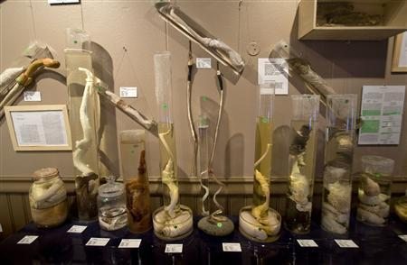 Jars filled with various animal phalli are on display at the Icelandic Phallological Museum in Husavik May 8, 2008. REUTERS/Bob Strong