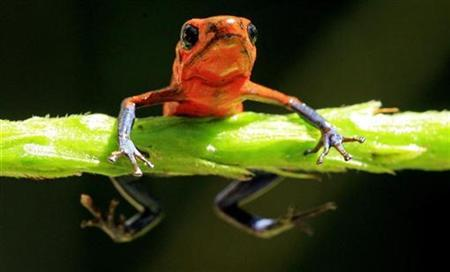 A Blue Jeans Dart Frog, Dendrobates pumilio, is seen at La Selva biological station in Sarapiqui, in this January 12, 2006 file photo. REUTERS/Juan Carlos Ulate/Files