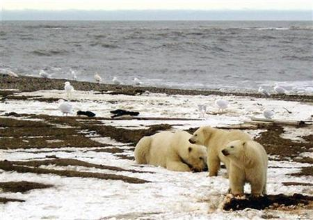 A polar bear sow and two cubs are seen on the Beaufort Sea coast within the 1002 Area of the Arctic National Wildlife Refuge in this undated handout photo provided by the U.S. Fish and Wildlife Service. REUTERS/U.S. Fish and Wildlife Service/Handout