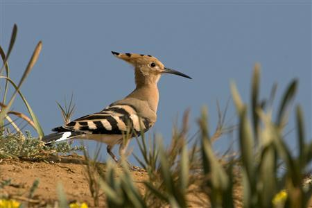 A Hoopoe bird stands on the ground in this undated picture released May 29, 2008 by the Society for the Protection of Nature in Israel. The Hoopoe was chosen on Thursday as Israel's national bird. The Hoopoe, or ''Duchifat'' in Hebrew, is listed in the Old Testament as unclean and forbidden food for Jews. President Shimon Peres declared the bird the winner of a competition timed to coincide with Israel's 60th anniversary. REUTERS/Yossi Eshbol/Handout