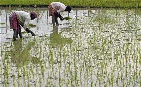 Farmers plant rice seedlings in their field in the outskirt of the northeastern Indian city of Agartala June 3, 2008. REUTERS/Jayanta Dey